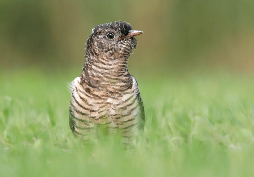 Koekoek; Cuckoo; Cuculus canorus