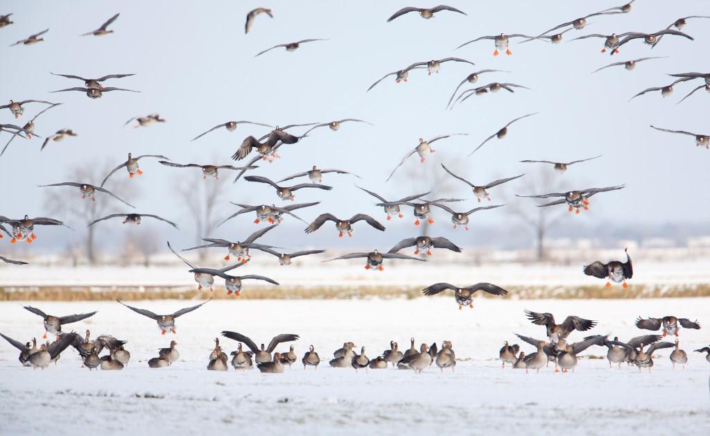 Kolgans; White-fronted Goose; Anser albifrons