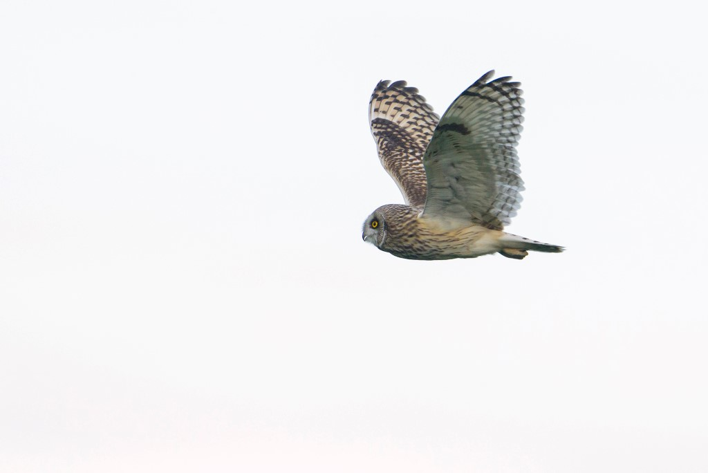velduil; short-eared owl; asio flammeus