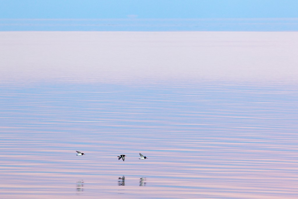 Scholeksters boven strakke waddenzee; Oystercatchers above silent wadden sea