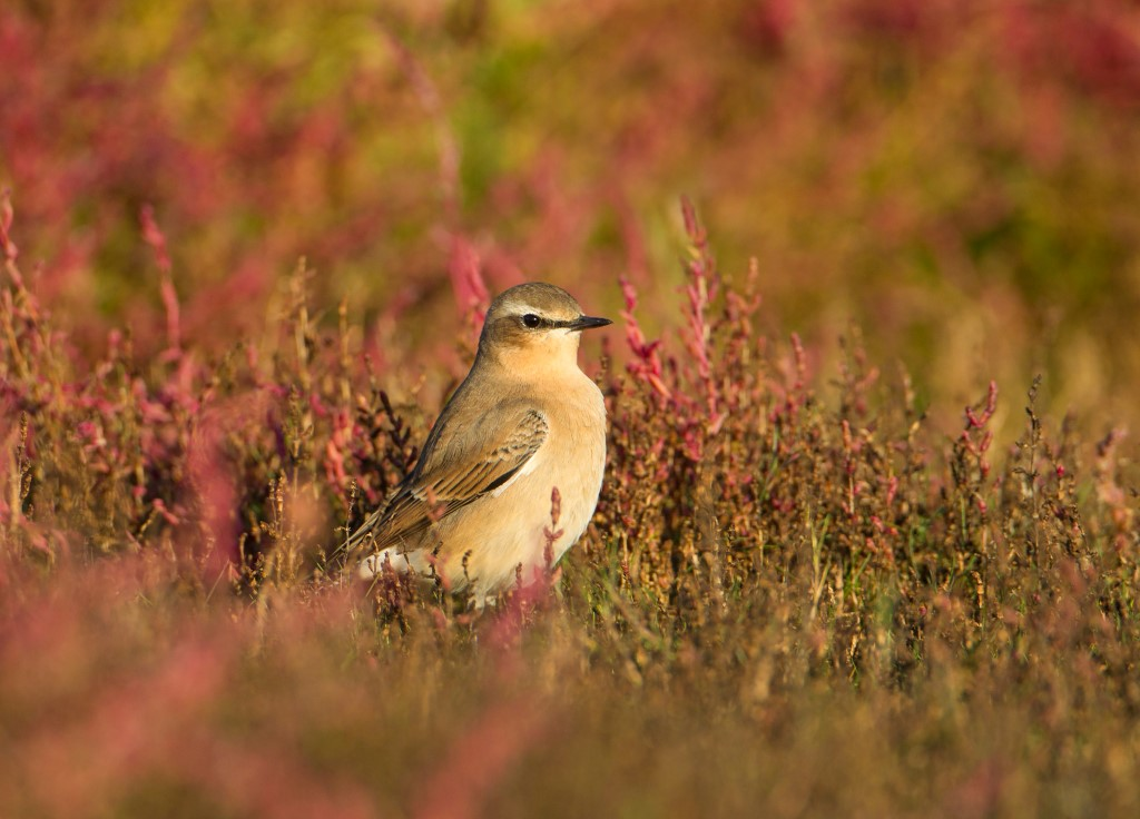 Tapuit op verkleurend zeekraal in de herfst; Northern Wheatear (Oenanthe oenanthe) on colouring Glasswort during autumn