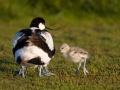 Kluut; Pied Avocet; Recurvirostra avosetta