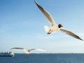 Kokmeeuw; Black-headed Gull; Larus ridibundus