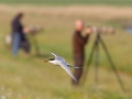 Visdief vliegt voorlangs vogelfotografen; Common tern flies for past bird photographers