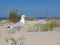 Zilvermeeuw; Herring Gull; Larus argentatus
