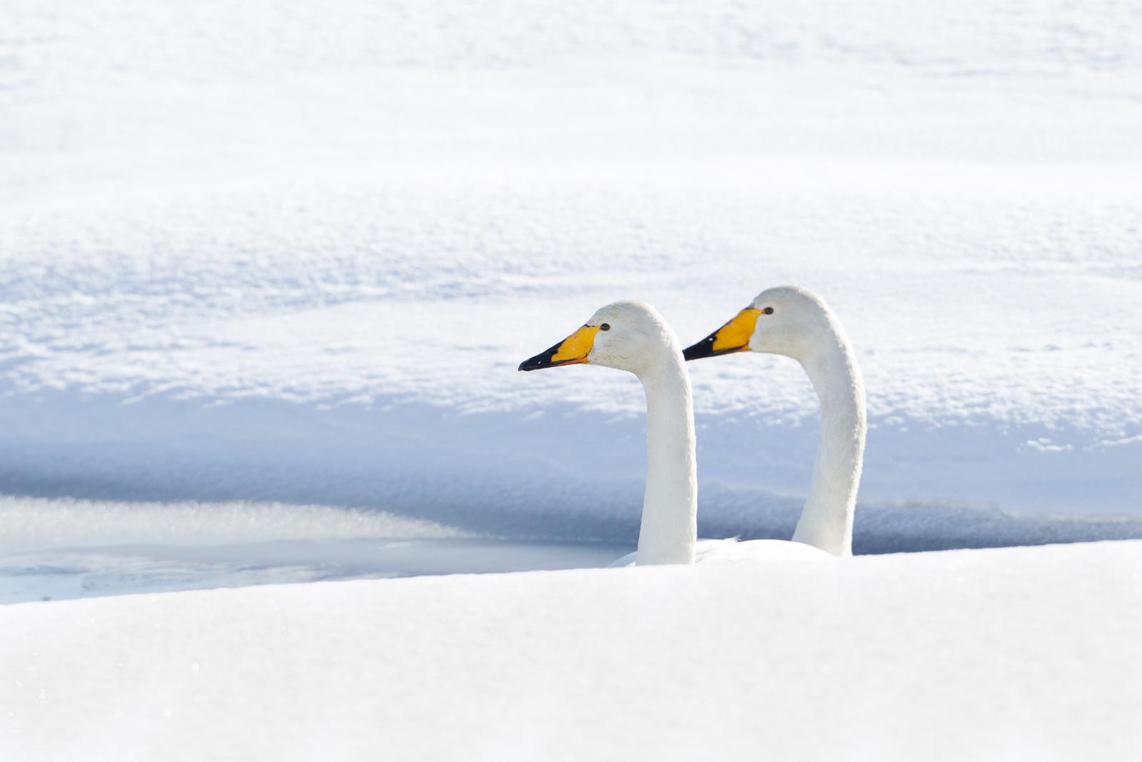 Duo Wilde Zwaan in sneeuwlandschap; Two whooper swan in snowy landscape