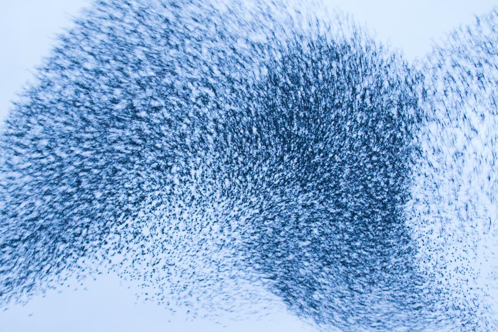 Grote groep vliegende spreeuwen; large flock of flying common starlings