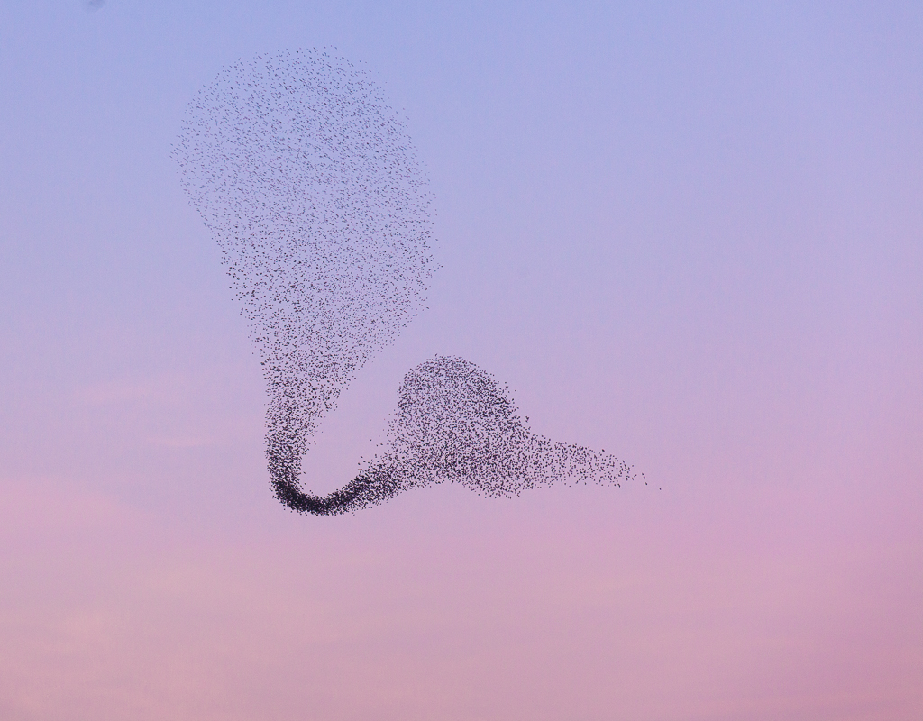 Grote groep vliegende spreeuwen; large flock of flying common starlings